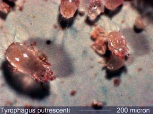 Mites In Home